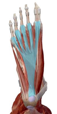 足底筋膜炎(足底腱膜炎)とは